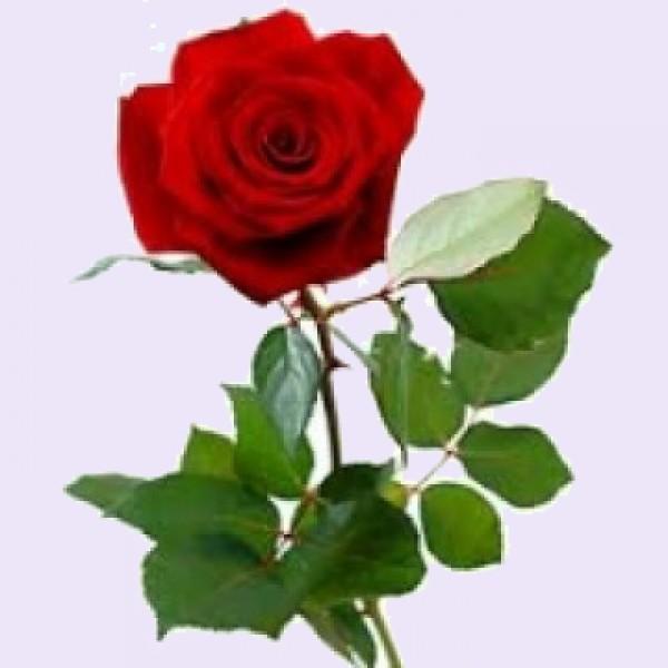 Losse lange rode roos tot 10 stuks